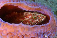 game fish, graysby, Cephalopholis cruentata (formerly Epinephelus cruentatus) - a grouper or seabass, hiding in azure vase sponge, Callyspongia plicifera, Gallows Reef, Belize Barrier Reef, Belize, Central America (Caribbean Sea)