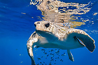 olive ridley sea turtle, Pacific ridley sea turtle, Lepidochelys olivacea, with juvenile jacks, Baja California, Mexico, Gulf of California, Sea of Cortez, Pacific Ocean