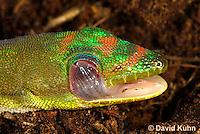 1001-0806  Gold Dust Day Gecko Cleaning Eye with Tongue, Phelsuma laticauda © David Kuhn/Dwight Kuhn Photography.