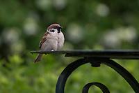 Feldspatz, Feld-Spatz, Feldsperling, Feld-Sperling, Spatz, Spatzen, Sperling, Passer montanus, tree sparrow, sparrows