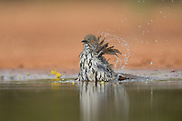 Long-billed Thrasher (Toxostoma longirostre), adult bathing, Rio Grande Valley, South Texas, Texas, USA