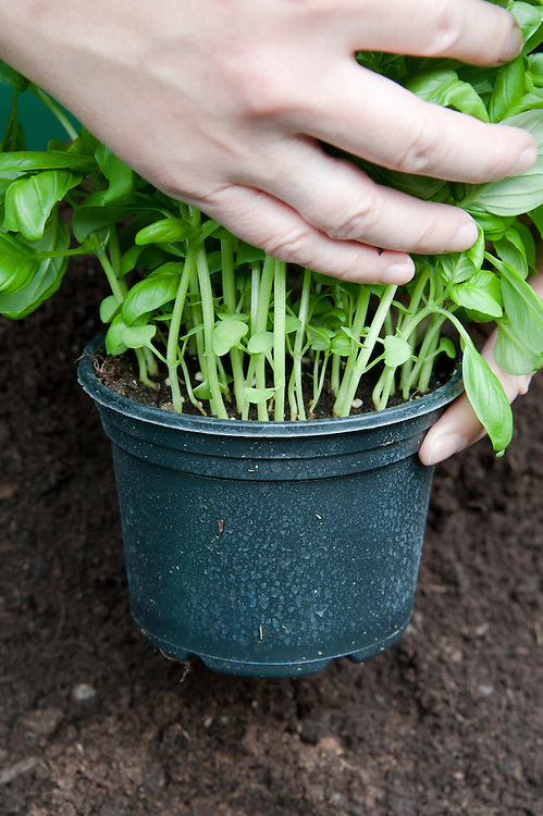 Dividing and re-potting a supermarket-bought basil plant. Image 2 of 10.
