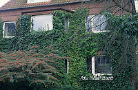 Efeu, Fassadenbegrünung, klettert an Hauswand, Fassade,  Hedera helix, Common Ivy, English Evy, Lierre grimpant