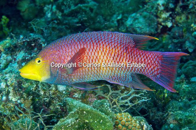 Bodianus rufus, Spanish hogfish, Eleuthera, Bahamas
