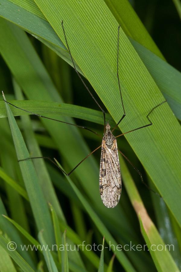 Stelzmücke, Sumpfmücke, Limnophila spec., short-palped cranefly, Stelzmücken, Sumpfmücken, Limoniidae, short-palped craneflies
