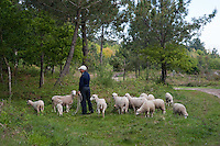 Shepherd with milk sheep, Galicia region of Spain near Vigo.....Copyright..John Eveson,.Dinkling Green Farm,.Whitewell,.Clitheroe,.Lancashire..BB7 3BN.Tel. 01995 61280.Mobile 07973 482705.j.r.eveson@btinternet.com.www.johneveson.com