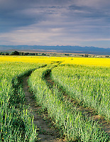 Mustard and wheat field with Wallowa Mountains. Near Baker City, Oregon