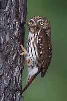Ferruginous Pygmy-Owl, Glaucidium brasilianum, adult at nesting cavity, Willacy County, Rio Grande Valley, Texas, USA, May 2007
