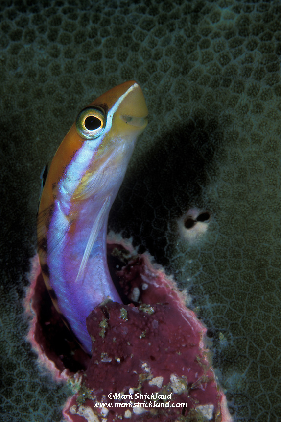 A Scale-Eating Blenny, Plagiotremus tapeinosoma, emerging from an empty worm hole. This sneaky predator mimics the Blue-Streak Cleaner Wrasse, but instead of removing parasites, it bites off & eats scales and flesh from larger fish.  Perhaps this explains the sly grin!  Similan Islands, Andaman Sea, Thailand, Indian Ocean.