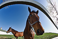 Thoroughbred horse portrait with fisheye lens, Calumet horse farm, Lexington, Kentucky