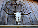 Cow skull and wagon wheel on abandoned farm building, Saskatchewan, Canada