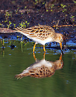Pectoral sandpiper in April
