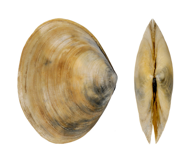 Peppery Furrow Shell - Scrobicularia plana