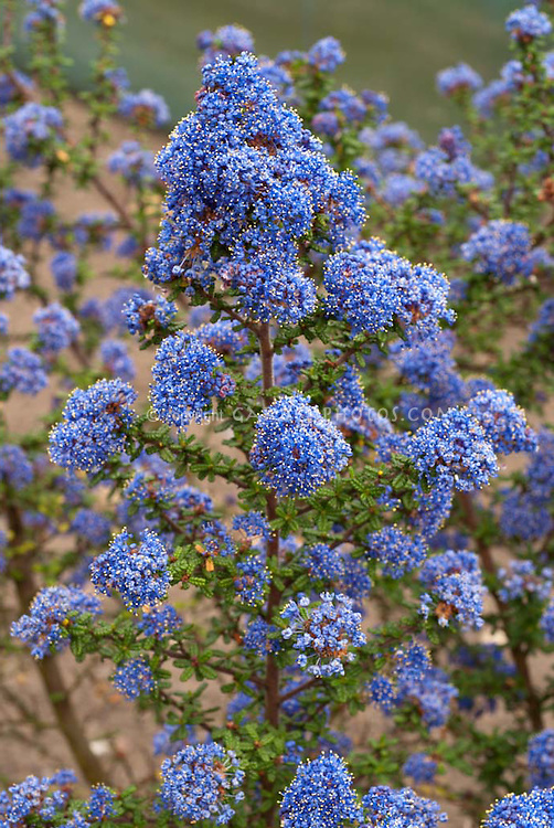 Blue Flowers Amp Plants Stock Photos Images Plant Flower