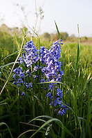 Bluebells and wild grasses growing in Wolvercote Meadow in May in Oxfordshire.