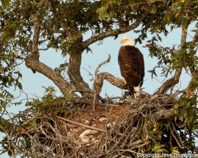 Bald Eagle returns to the previous year's nest with all its old turtle shells.