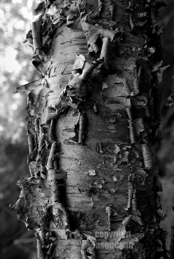 Bark peels back from an Aspen in the Adirondacks. Photo by Jason Cohn