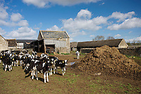 Cows from a dairy farm in Sherborne, Gloucestershire, United Kingdom