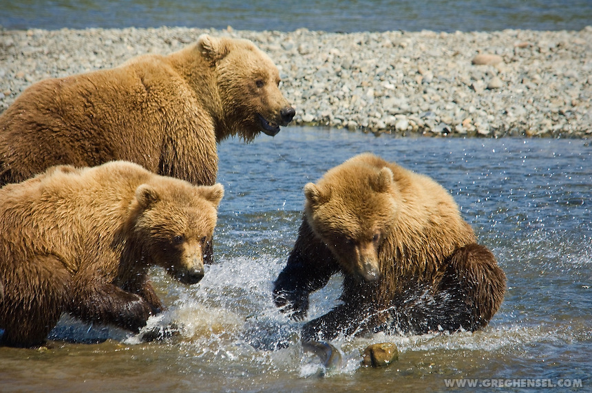 A Mother Grizzly Bear and her cubs chase Salmon at Mikfik Creek. McNeil River Brown Bear Sanctuary. Summer in Southwest Alaska.