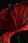 Asiatic Lilies -Red