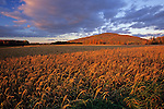 Wheat field in Aroostook County, Maine, USA