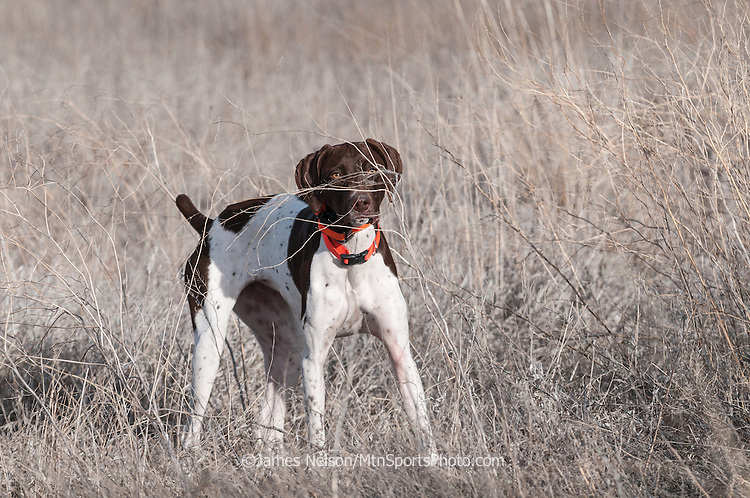 A German short-hair point locked up on a pheasant in southeast Idaho.