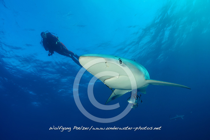 Prionace glauca, Blauhai und Taucher, Blueshark and scuba diver, Kap der Guten Hoffnung, Suedafrika, offshore im Atlantik, Cape of Good Hope, South Africa, offshore in the Atlantic, MR Yes