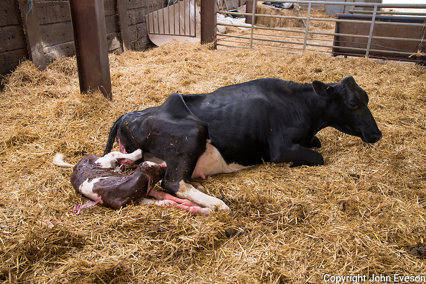 Newly born Red Holstein bull calf with Holstein cow in a straw calving yard, Cheshire.