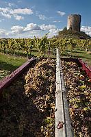 Europe/France/Aquitaine/24/Dordogne/Monbazillac:  Vendanges manuelles dans el vignoble AOC Monbazillac
