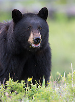Spring is always a good time for black bear viewing in Yellowstone.