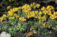 Immergrünes Felsenblümchen, Rosetten-Hungerblümchen, Felsen-Fungerblümchen, Felsenhungerblümchen, Rosettiges Felsenblümchen, Draba aizoides, Yellow whitlow-grass, Yellow whitlow grass