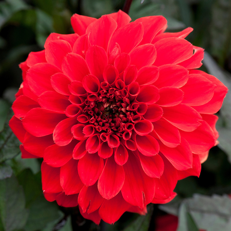 Dahlia 'Tally Ho Double', mid August.