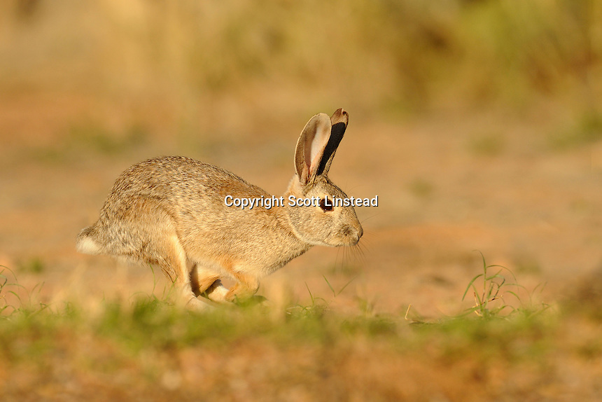 a cottontail rabbit running