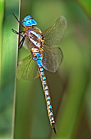 339360023 a wild male blue-eyed darner rhionaeschna multicolor perches on a cattail reed along piru creek los angeles county california united states