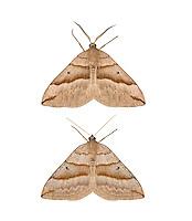 70.040 (1733)<br /> Lead Belle - Scotopteryx mucronata