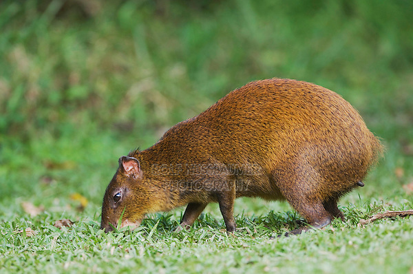 Central American Agouti, Dasyprocta punctata, adult eating, Bosque de Paz, Central Valley, Costa Rica, Central America, December 2006