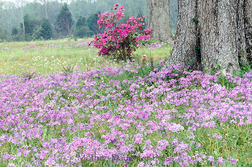 Misty day in a meadow of wildflowers - spring in Louisiana. wild phlox divaricata, azalea, and oak in the wet mist