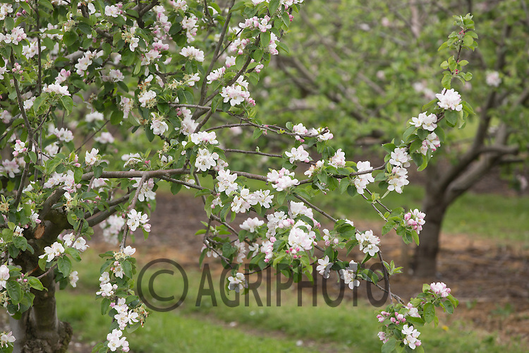 Apple trees in blossom <br /> Picture Tim Scrivener 07850 303986