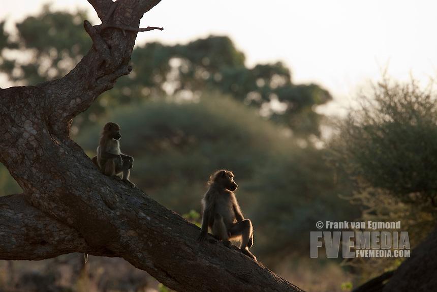 Chacma Baboon (Papio Ursinus)...Watching the sun go down...Mashatu Game Reserve..Tuli block, Botswana..November 2010.