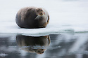 Norway, Svalbard,  bearded seal (Erignathus barbatus) on ice floe
