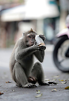 A monkey tries to open a canister, presumably thinking it contains food. The  trash was left by the side of the road in central Ubud, Bali.