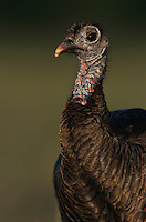 Wild Turkey, Meleagris gallopavo, female, Lake Corpus Christi, Texas, USA, April 2003