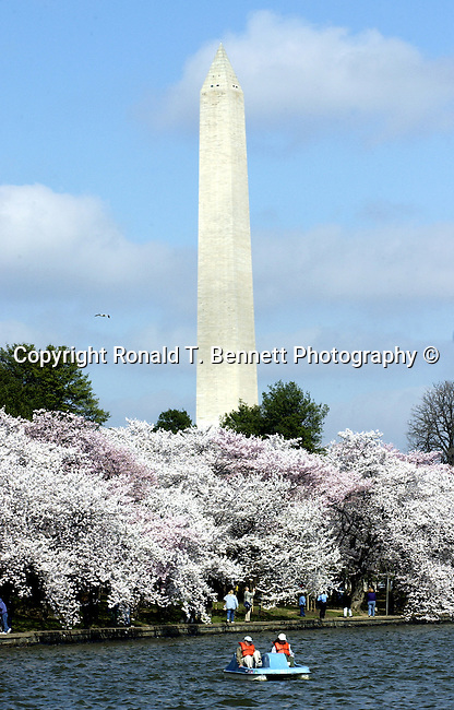 Washington Monument with cherry blossoms Tidal Basin Washington DC, obelisk, National Mall Washington DC, George Washington Monument built of marble granite sandstone, Washington Monument tallest stone structure in the world height standing 555 feet 5 1/8, construction 1848 Washington Monument, capstone December 6, 1884, Reflecting Pool, Lincoln Memorial, Washington D.C. fine art photography by Ron Bennett Copyright, Washington, D.C. fine art photography by Ron Bennett (c). Copyright Fine Art Photography by Ron Bennett, Fine Art, Fine Art photo, Art Photography,