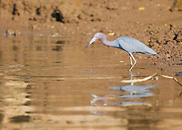 Little blue heron, Egretta caerulea, at the shore of the Tarcoles River, Costa Rica