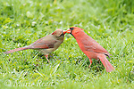"""Northern Cardinal (Cardinalis cardinalis) male feeding his mate in spring as part of courtship/pair formation, termed """"allofeeding"""", New York, USA"""