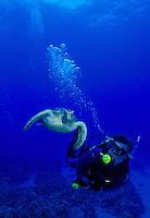 Scuba divers swim along with Green Sea Turtles (Honu)in the warm waters of Hawaii.