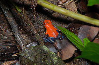 Strawberry Poison Dart Frog, Dendrobates pumilio, in the rainforst of Costa Rica