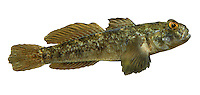 Black Goby Gobius niger Length to 16cm<br /> Similar proportions to Rock Goby, often with similar colouration too. Favours estuaries and sheltered coasts with muddy substrates; often in eelgrass beds. Adult is uniformly black in some individuals but typically marbled brown and grey-buff. 1st dorsal fin is typically pointed, rather than curved) and lacks a pale margin. Both dorsal fins usually show a dark spot at the front. Has fewer than 50 scales along lateral line. Locally common, S and W only.
