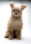 Mixed Pomeranian Puppy