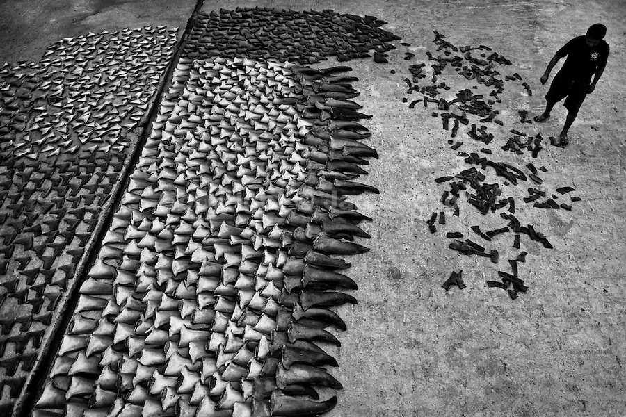 Hundreds of shark fins dry in the sun at a processing plant in Manta, Ecuador, 8 September 2012. Every morning, hundreds of shark bodies and thousands of shark fins are sold on the Pacific coast of Ecuador. Although the targeted shark fishing remains illegal, the presidential decree allows free trade of shark fins from accidental by-catch. However, most of the shark species fished in Ecuadorean waters are considered as ?vulnerable to extinction? by the World Conservation Union (IUCN). Although fishing sharks barely sustain the livelihoods of many poor fishermen on Ecuadorean at the end of the shark fins business chain in Hong Kong they are sold as the most expensive seafood item in the world. The shark fins are primarily exported to China where the shark's fin soup is believed to boost sexual potency and increase vitality. Rapid economic growth across Asia in recent years has dramatically increased demand for the shark fins and has put many shark species populations on the road to extinction.